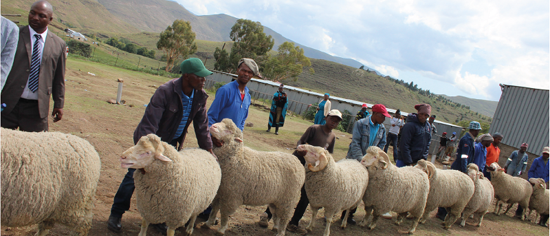 Prizes galore for sheep farmers